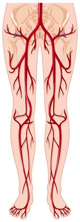 vessels: Blood vessels in human body illustration