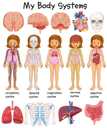 Human body systems diagram illustration
