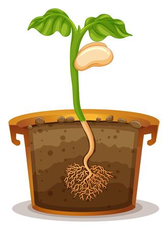 germinaci�n: La germinaci�n de semillas en arcilla ilustraci�n pote