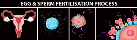 fertilisation: Egg and sperm fertilisation process illustration