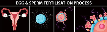 apparato riproduttore: Uovo e processo di fecondazione spermatozoi illustrazione Vettoriali
