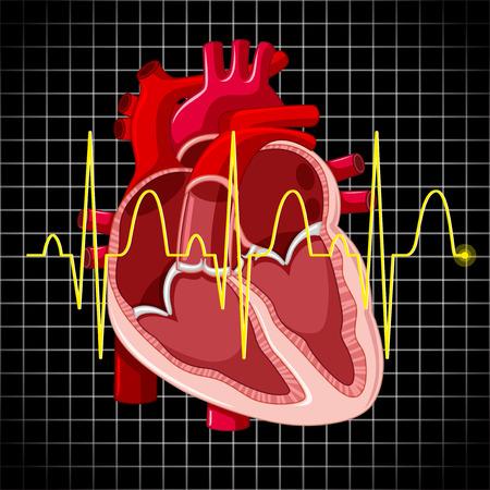 heart clipart: Human heart and graph show heartbeats illustration