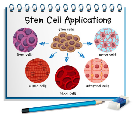 liver cells: Diagram showing different stem cell applications illustration