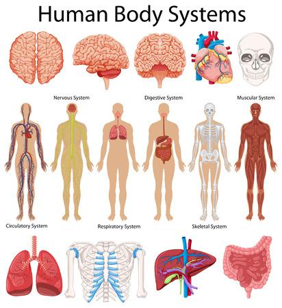 Das Diagramm zeigt die menschliche Körpersysteme Illustration Standard-Bild - 62917371