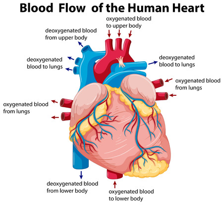Diagram Flow Heart Body - Car Wiring Diagrams Explained •