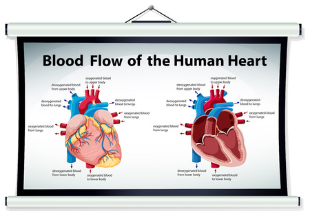 blood flow: Diagram showing blood flow in human heart illustration