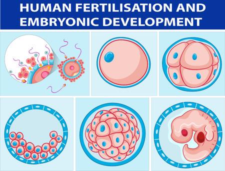 embryonic: Diagram showing human fertilisation and embryonic development illustration
