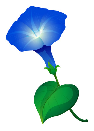 isolated flower: Morning glory flower in blue color illustration
