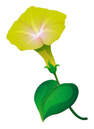 morning glory: Morning glory flower with green leaf illustration Illustration
