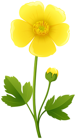 Buttercup flower in yellow color illustration