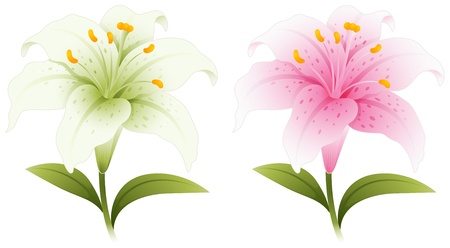 lily flowers: Two lily flowers in white and pink illustration