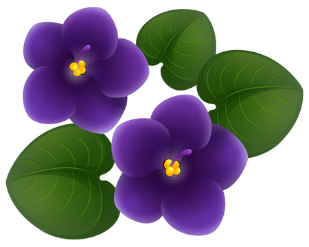 African violet flowers and green leaves illustration Çizim