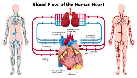 human heart: Diagrama que muestra el flujo de sangre del corazón humano ilustración