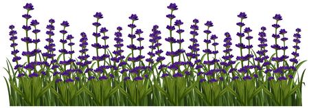 field flowers: Field of lavender flowers illustration
