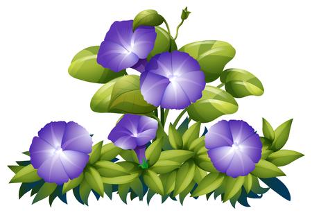 morning glory: Purple morning glory in the bush illustration Illustration