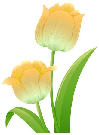 isolated flower: Yellow tulip flowers on white background illustration Illustration