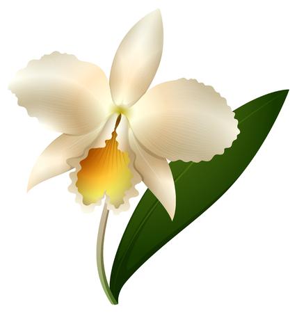 White orchid on white background illustration