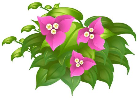 Bougainvillea in pink color illustration