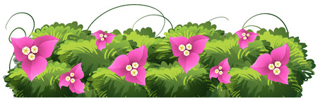 Bougainvillea flowers in pink color illustration Illustration