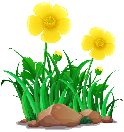 Buttercups flowers in yellow color illustration