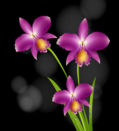 shiny background: Purple orchid flowers with black background illustration Illustration