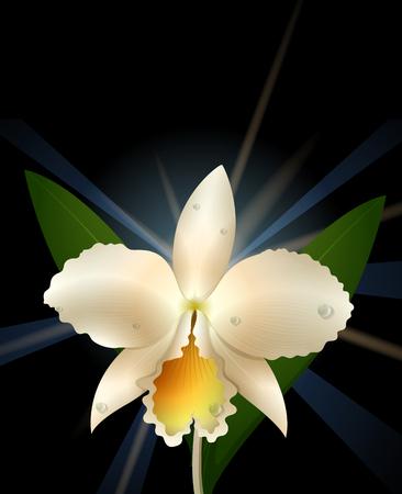 shiny background: White orchid on black background illustration