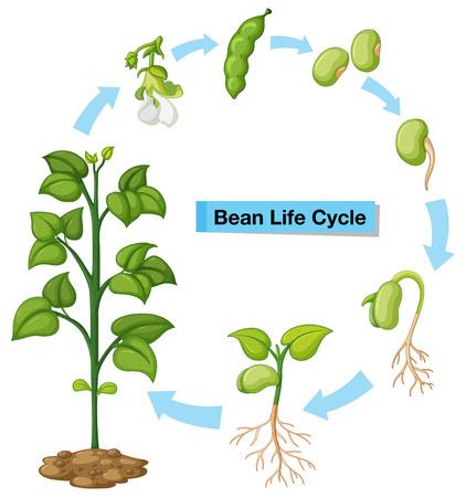 Diagram dat de illustratie van de bonenlevenscyclus toont