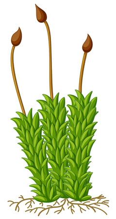 Moospflanze mit Wurzelillustration