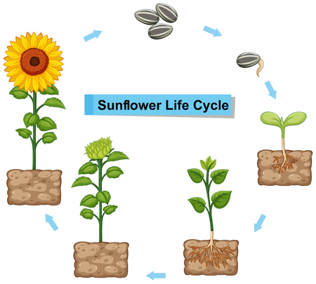 Diagram showing life cycle of sunflower illustration 일러스트