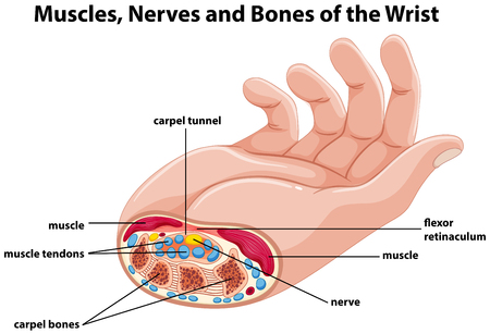 Diagram showing human hand with muscles and nerves illustration