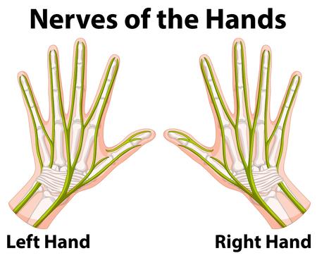 Diagram showing nerves of the hands illustration