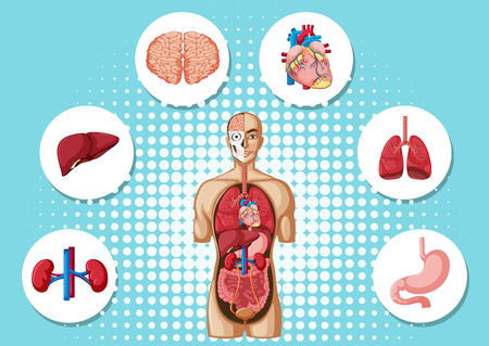 Human anatomy with different organs illustration