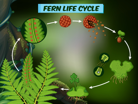 Diagram showing fern life cycle vector illustration.