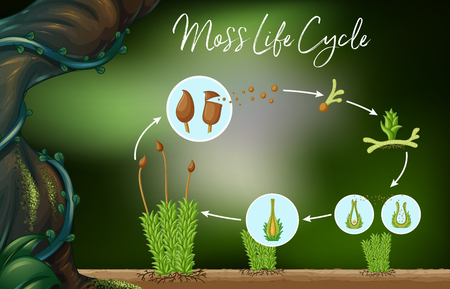 Science Vector of Moss Life Cycle illustration Çizim