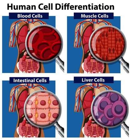 A Set of Human Cell Differentiation illustration Stock Illustratie
