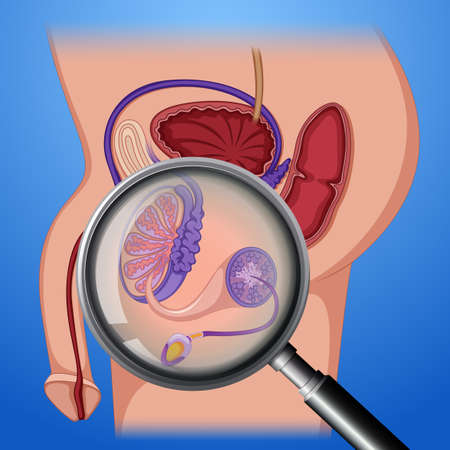 Male Reproductive System Anatomy illustration