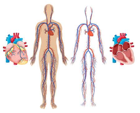 Illustratie van menselijk hart en cardiovasculair systeem