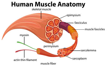 Human Muscle Anatomy Diagram illustration