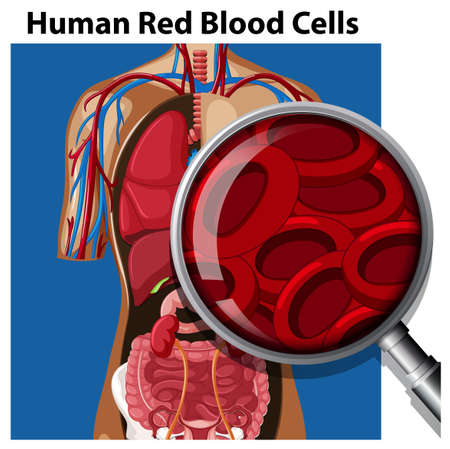 Anatomy of Human Red Blood Cells illustration