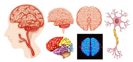 Ilustración médica técnica de la anatomía del cerebro humano
