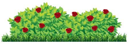 Pianta di rosa isolata sull'illustrazione bianca del fondo Vettoriali