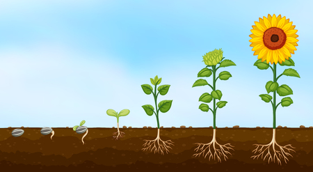 Diagram of plant growth stages  illustration