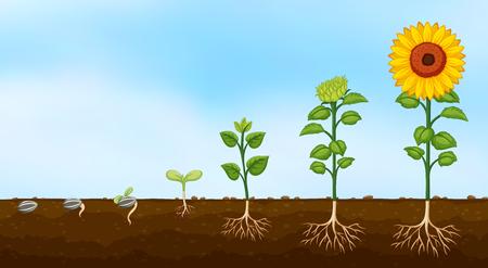 Schema dell'illustrazione delle fasi di crescita delle piante