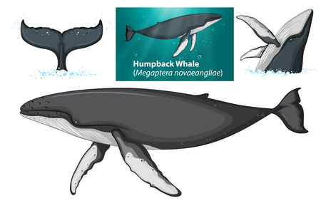 A humpback whale character illustration