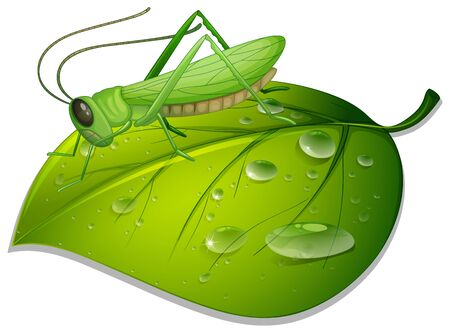 Grasshopper on green leaf on white background illustration