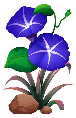 Morning glory flowersv on white background illustration
