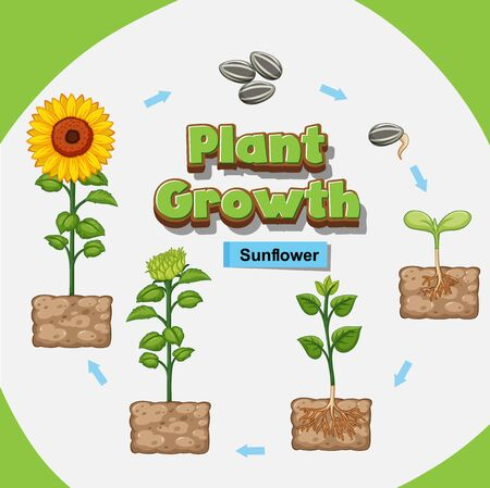 Diagram showing how plants grow from seed to sunflower illustration