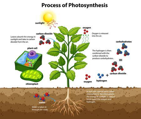 Diagramm, das den Prozess der Photosynthese mit Pflanzen- und Zellillustration zeigt