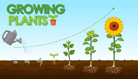 Diagram showing how plants grow from seed to sunflower illustration Ilustración de vector