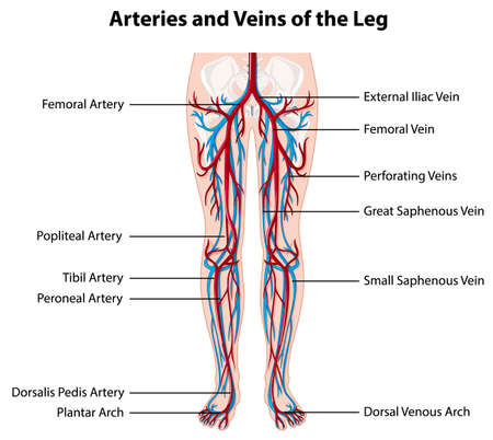 Arteries and veins of the leg illustration
